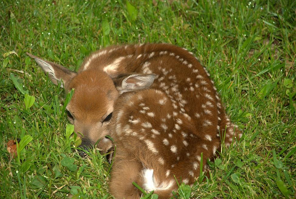 Click image for larger version.  Name:Fawn.jpg Views:29 Size:157.5 KB ID:28222