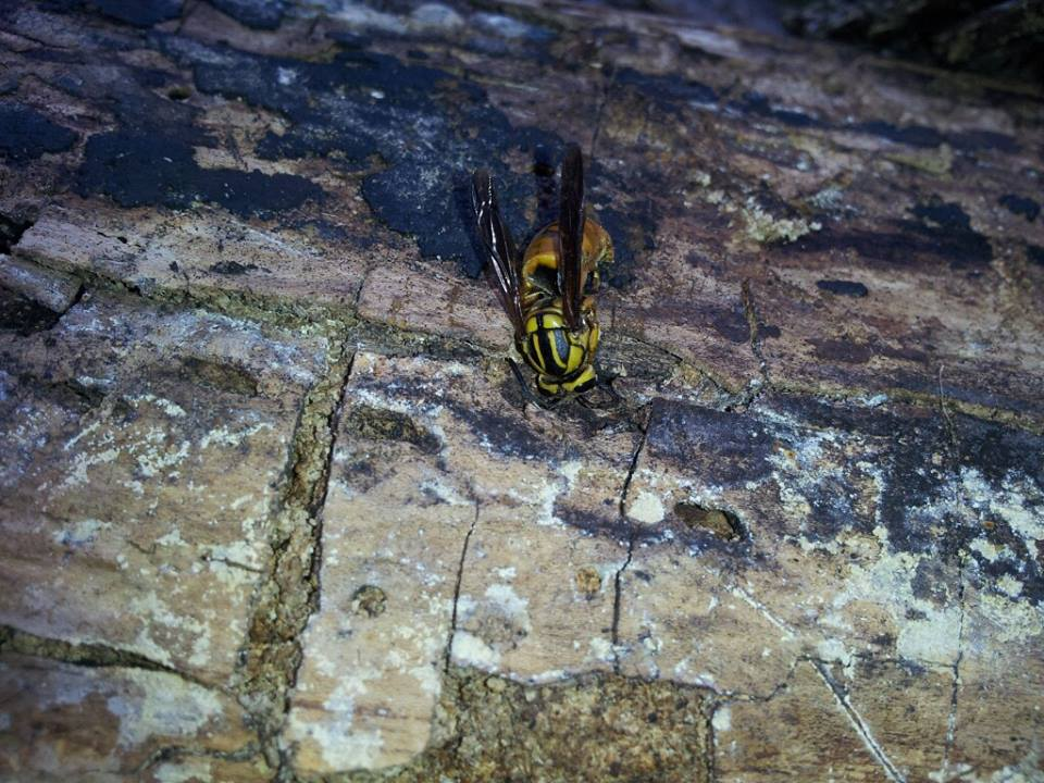 Click image for larger version.  Name:Hornet Queen.jpg Views:61 Size:128.8 KB ID:31267