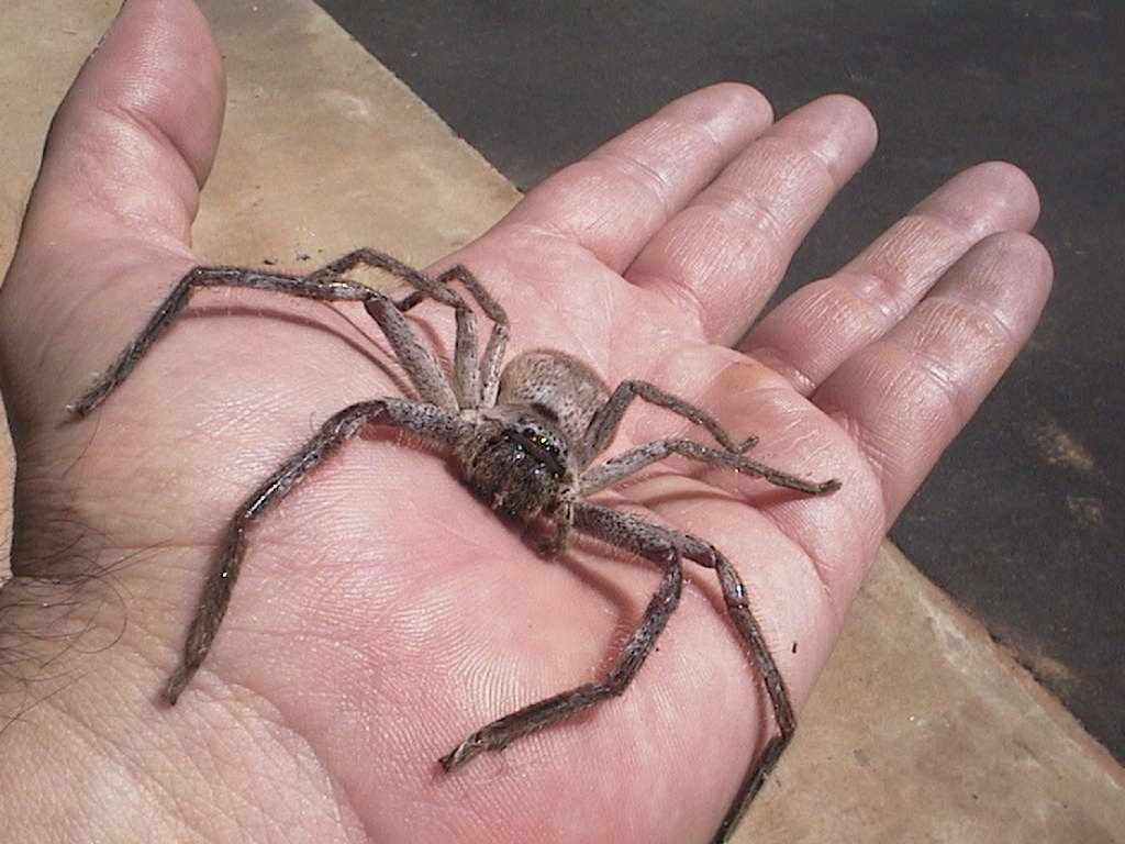 Click image for larger version.  Name:huntsman-spider.jpg Views:33 Size:71.8 KB ID:28997