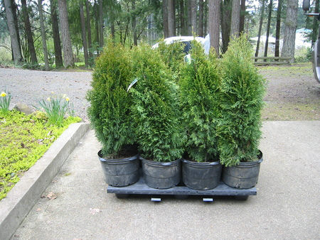 Click image for larger version.  Name:pallet of 8 ea 5 gal shrubs.jpg Views:84 Size:57.5 KB ID:663740